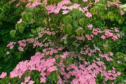 Jardinerie orvaltaise, bonsaï
