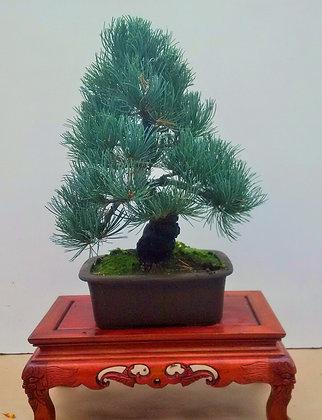 Pinus pentaphylla 3