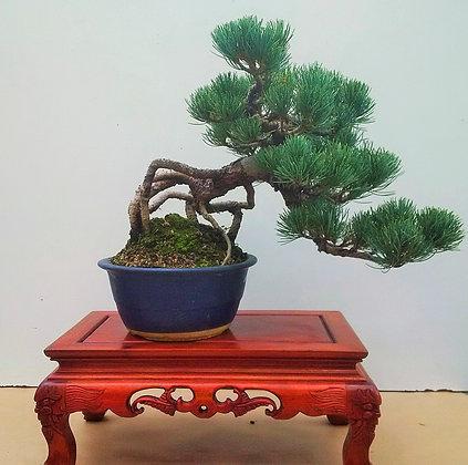 Pinus pentaphylla neagari 2