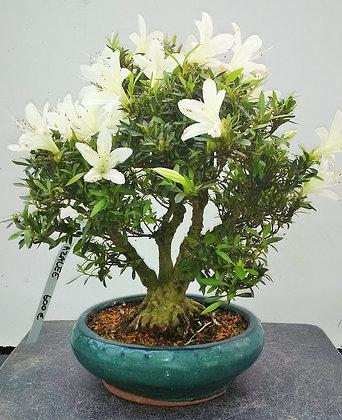 Azalée satsuki 'hakurei'