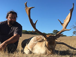 Fallow deer shot by hunter