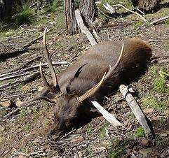 Sambar deer on Victorian forest floor