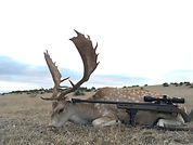 Fallow deer guided hunt