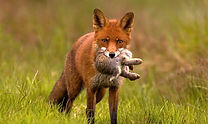 Fox hunting Australia