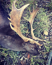 Fallow deer buck with dark coat