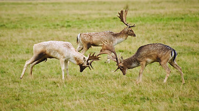 hunting fellow deer