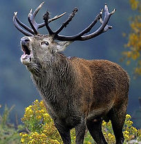 red stag hunt with guide