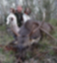Deer hunting dogs with hunter and deer in Victorian forest