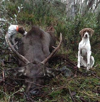 Sambar deer hunting with companion dogs