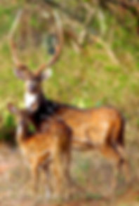 Axis deer stag and female