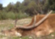 rusa deer hunting guide Australia