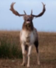 fallow deer buck on attack