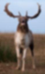 Fallow deer hunting in the rut