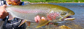 Rainbow trout fishing Victoria