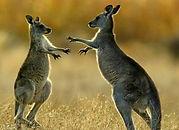 Kangaroo tour