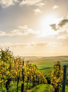 NZ Vineyard at Sunset