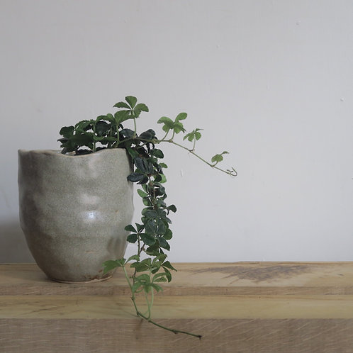 Parthenocissus striata - indoor plant