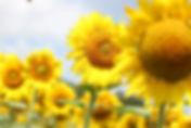 Sunflower 4.jpg