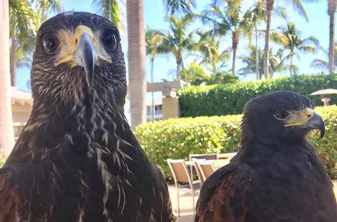 two hawks new.jpg