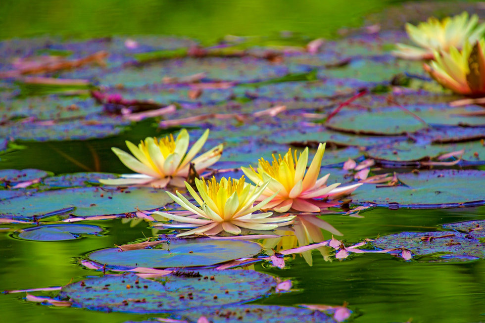 water-lily-4334314_1920.jpg