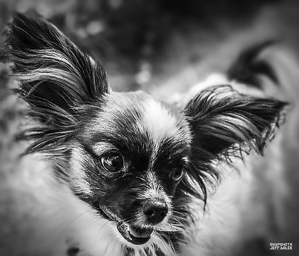 DOG PAPILLON .jpg