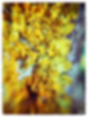 YELLOW TRUMPETS 1.jpg