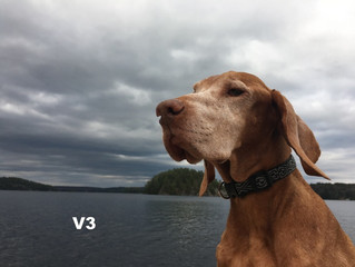 "August 2018 ""Pin Up Vizsla"""