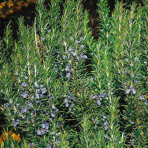 "Rosemary - Tuscan Blue 4"" Pot"