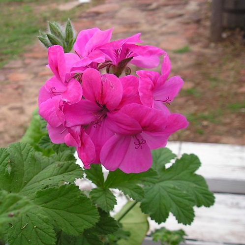 """Clorinda Scented Geranium 6"""" Pot"""