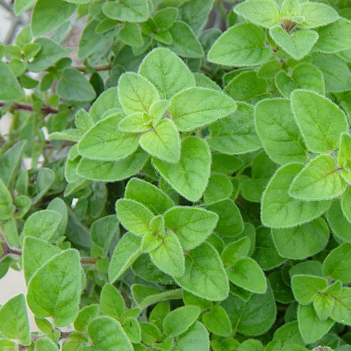 "Italian Oregano 4"" Pot"