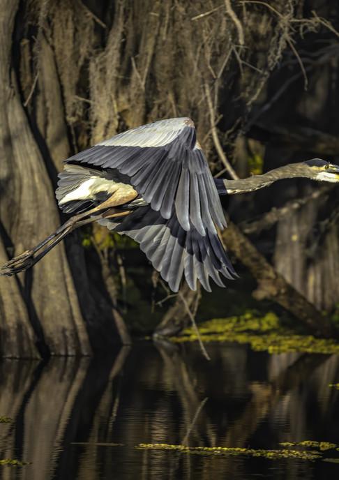 Heron in Flight at Caddo