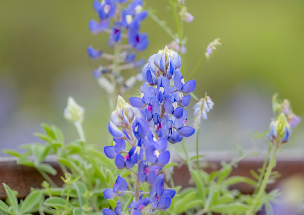 Bluebonnets at the train Track