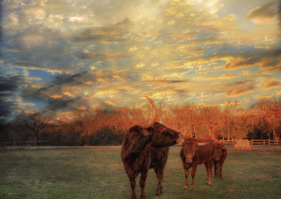 Longhorn Trio at Sunset