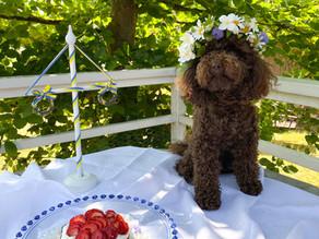 Midsommartårta - till hunden