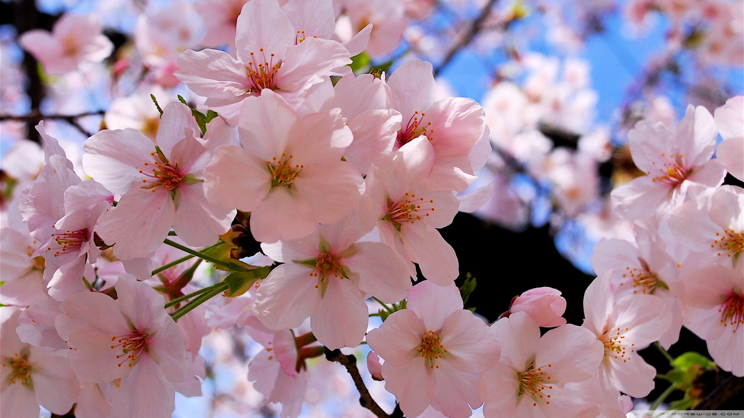 spring_pink_blossoms-wallpaper-2560x1440.jpg