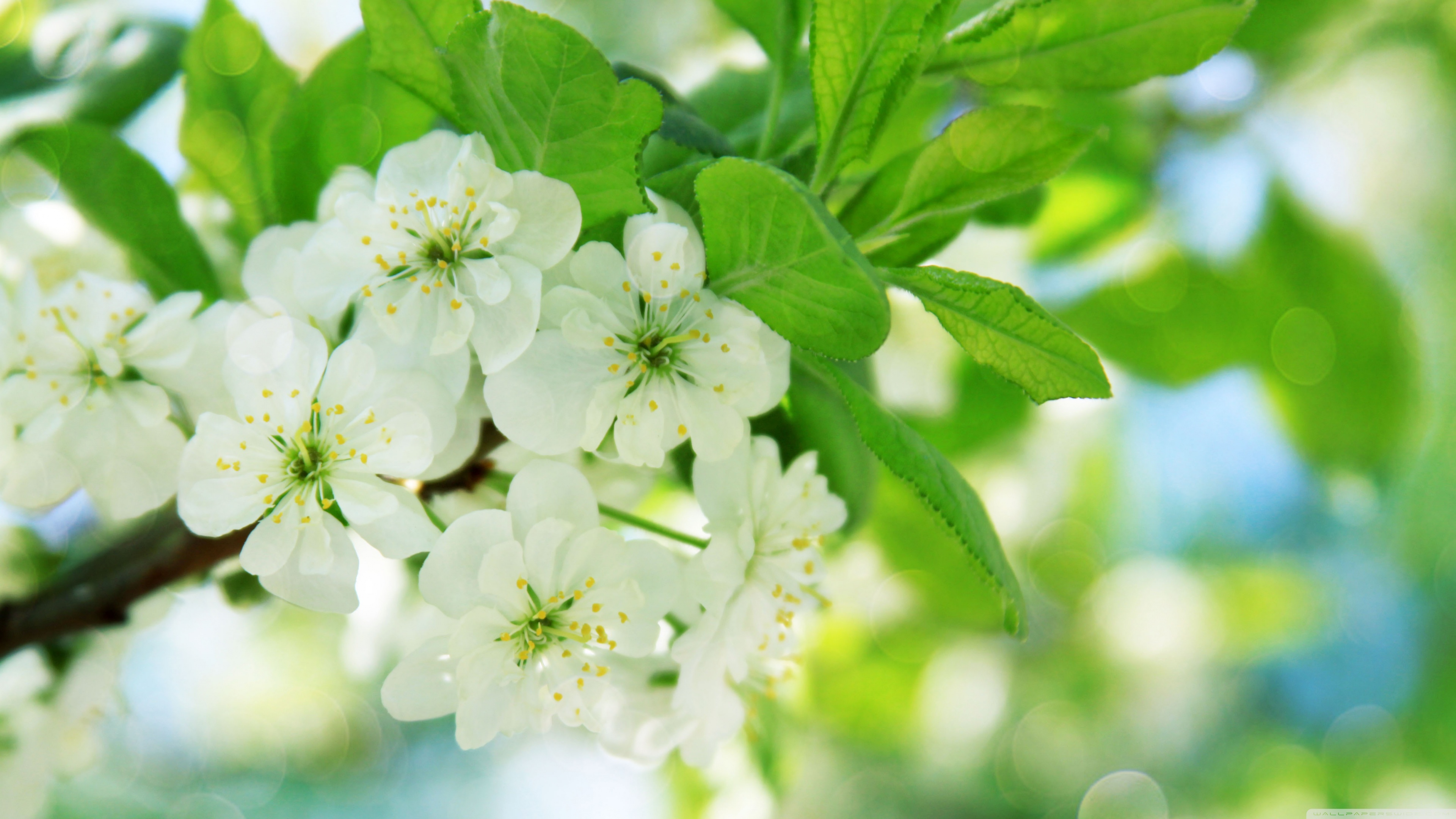 pear_tree_flowers-wallpaper-3840x2160.jpg
