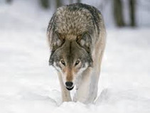Release the Wolves: Polis tells commission to hurry and get wolves on the ground