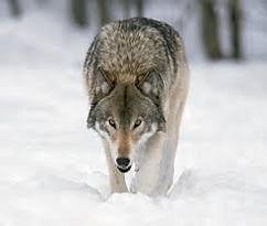 greywolf.jpg