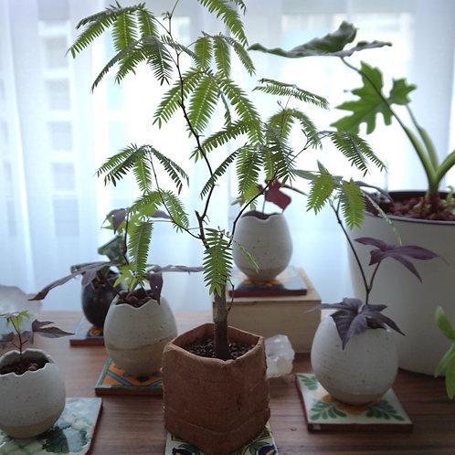 """""""Origins"""" Ceramic Series - Mimosa Bonsai Brown"""
