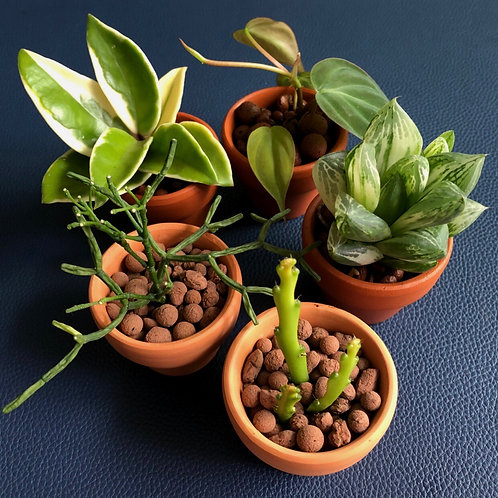 """The Little"" Series - A Quintet of Baby Plantmates"