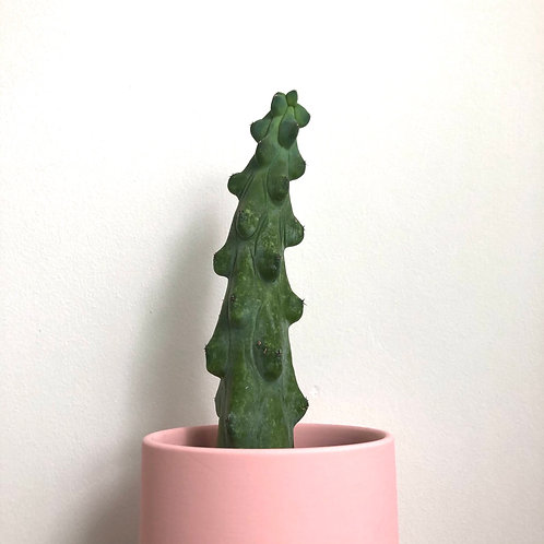 Peculiar Series - That Cactus
