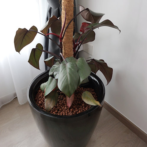 Philodendron Royal Queen in KIPOS self-watering system
