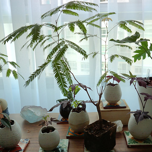 """""""Origins"""" Ceramic Series - Mimosa Bonsai Chocolate"""