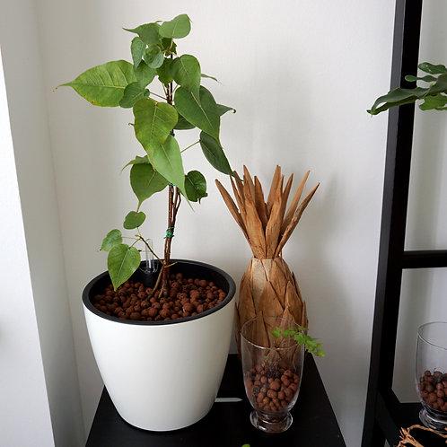 Bodhi Bonsai in KIPOS self-watering system