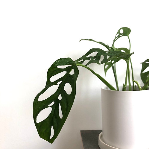 Peculiar Series - Adanson's Monstera