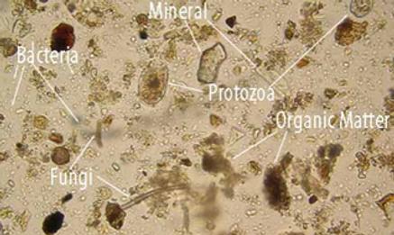 Soil bacteria.png