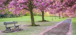 Harrogate Blossom
