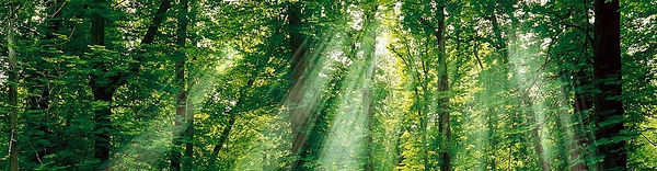 cropped-Sun-Light-through-the-Forest-Tre