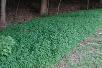Stilt Grass Photo.PNG