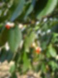 wintercreeper, euonymus fortunei  (4).JP